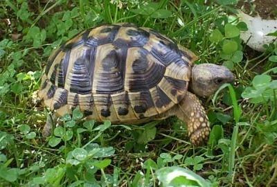 La tartaruga for Tartaruga acquatica letargo