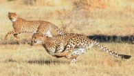 Il ghepardo, anche detto Gattopardo,è l'animale più veloce al mondo, può essere lungo sino a 1,50 m e la coda di 75 cm, ha il muso corto, la testa tondeggiante […]
