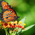"""Realizzare un """"Giardino delle farfalle"""" non ha solo un valore educativo come luogo di ideale per le osservazioni naturalistiche e per scoprire e conoscere la natura. Infatti ogni giardino, anche […]"""