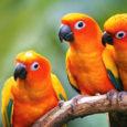 I pappagalli spesso riscontrano problemi comportamentali e spesso alla base di esse il problema siamo noi. C'è una ragione semplice per questo, perché i bisogni psicologici dei pappagalli si scontrano […]