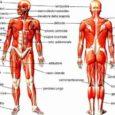 Dell'apparato locomotore fa parte anche il sistema muscolare, cioè l'insieme dei muscoli che permettono tutti i movimenti del nostro corpo e lo svolgimento delle funzione vitali. I muscoli del corpo […]