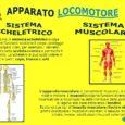 Il corpo umano può stare in piedi e muoversi grazie allo scheletro, alle articolazioni e ai muscoli, che svolgono un'azione congiunta, formando cosi l'apparato locomotore. Le ossa e lo scheletro […]