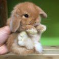 A differenza del coniglio di taglia normale, quello nano, può avere massimo tre/quattro piccoli a gestazione. Entrambi i sessi sono pronti per l'accoppiamento già a quattro mesi. La gravidanza […]