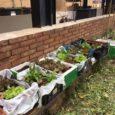 Preparare un orto non è molto facile, infatti ci vuole sempre l'aiuto di un adulto esperto. Noi lo abbiamo preparato il 23/04/18 in cortile, con le altre quarte, abbiamo piantato […]