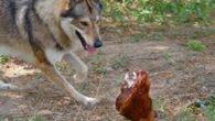 In una notte molto buia, una gallina, si svegliò di soprassalto! E, si rese conto, che il contadino aveva lasciato la porta del pollaio aperta. La gallina si stava per […]