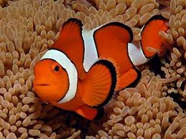 pesce.pagliaccio