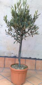 piccolo-ulivo-giardino