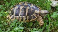 … Dorme poco, mangia tanto, non emette suono, d'inverno va in letargo…. Tutte caratteristiche che fanno pensare che la tartaruga sia un animale stupido, che non trasmette emozioni, ma invece, […]