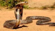 Uno degli aspetti fisici del cobra è chesolleva la parte anteriore del corpo e contrarre allo stesso tempo i loro muscoli. Il cobra in India èun animale venerato dagli indù, […]
