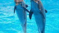 Il delfino è uno di quei pochi mammiferi acquatici che l'uomo conosce veramente bene e con cui ha cercato di interagire sin dall'inizio. I delfini sono predatori e cacciano le […]