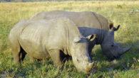 Il Rinoceronte bianco, detto anche rinoceronte camuso è un mammifero perissodattilo della famiglia dei rinocerontidi, di cui è il più grande rappresentante. Inoltre è il più grande animale terrestre. Lacolorazione […]