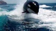 L'orca, detta Orcinus , è il più grande dei Delfinidi e uno dei più potenti predatori al mondo. Si nutre di mammiferi marini come foche, leoni marini e persino […]