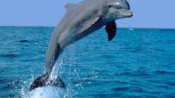 Il corpo di un delfino èestremamente idrodinamico. La pelle, estremamente liscia, è dotatadi speciali creste cutaneeche contrastano la formazione di vortici. Riescono a raggiungere una velocità massima di 45 km/h.Lo […]