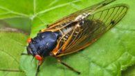 Le cicale sono insetti più che altro estivi, in effetti in estate si può sentire il loro verso, verso che emettono quando sono attaccate agli alberi. Hanno occhi rossi, corpo […]