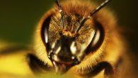 Farsi pizzicare dagli insetti per studiarne gli effetti; Justin Schmidt, entomologo americano specializzato nello studio degli insetti, lo ha fatto, e ha vinto un premio IG Nobel nel 2015: è […]