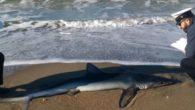 Squalo spiaggiato a Ostia: si tratta di uno squalo verdesca,,lungo più di due metri, di quasi un quintale di peso. Niente paura perché questo genere di squali non attacca l' […]