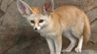 Il fennec è una piccola volpe che abita nel deserto del Nord Africa. Questo animale si ciba prevalentemente di piccoli roditori e insetti. Il fennec è molto curioso e intelligente […]