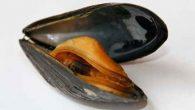 I Bivalviappartengono al gruppo dei molluschi. Hanno una simmetria bilaterale (cioè il loro corpo si può dividere in due parti perfettamente uguali), un corpo molle che è protetto da una […]