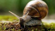Quelle che noi chiamiamo comunemente lumache in realtà si chiamano chiocciole; esse fanno parte della famiglia dei gasteropodi. La chiocciola è un animale polmonato, cioè che respira con una sorta […]
