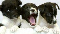 Era il primo maggio quando sono nati 5 cuccioli di cane, in canile si aggirava una malattia e quindi una persona di nome Catia, che lavora in canile, li ha […]