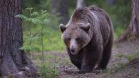 Come sono fatti? Gli orsi bruni hanno folti mantelli di colore biondo, bruno, nero, o formati da un misto di questi colori. Gli arti anteriori terminano con zampe munite di […]