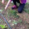 Il giorno 22 ottobre ci siamo recati all'orto della nostra scuola, dove la professoressa Fausti ci ha detto che dovevamo strappare le erbacce che erano cresciute intorno alle nostre piantine […]