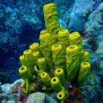 I poriferi I poriferi, portatori di pori, sono organismi semplici, acquatici e sessili cioè che vivono ancorati ai fondali marini. Hanno la forma di un sacchetto, ricoperto da pori e […]